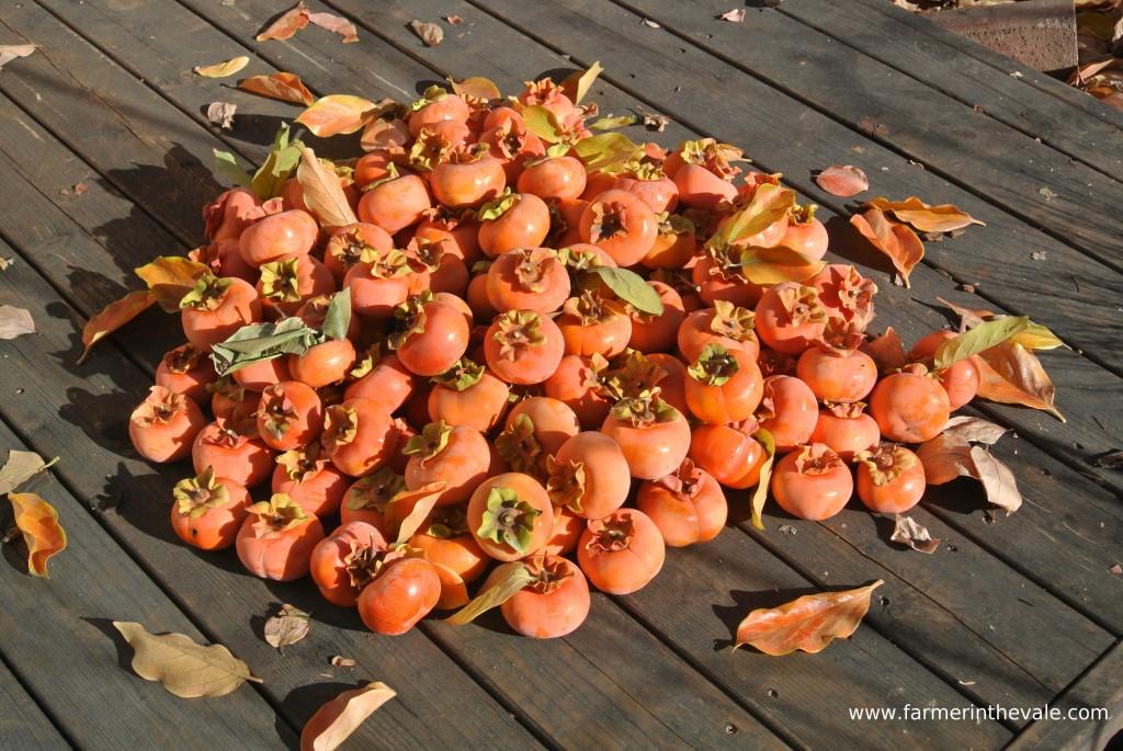 Persimmon Harvest 2013